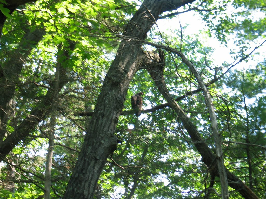 a turkey vulture perched in a tree near our campsite at Pinery Provincial Park near Grand Bend Ontario