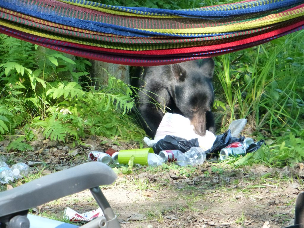 bear-proof your campsite so that you don't have bears like the one in this picture eating garbage in your campsite