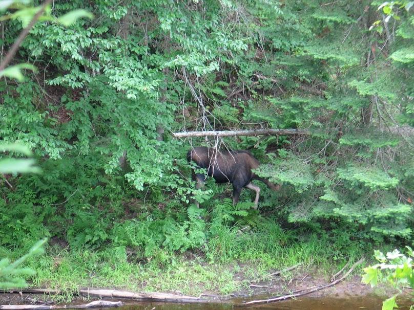 picture of a moose at Arrowhead provincial park