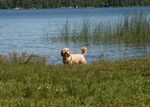 a picture of Farley our dog at Mazinaw Lake at Bon Echo Provincial Park
